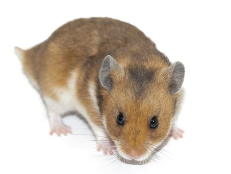 ハムスターって種類によって性格は違うの? 飼育しやすさに関係する?