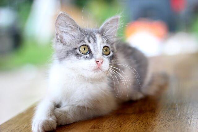 猫と住みたい!飼いやすい子をランキングから選んでみた!