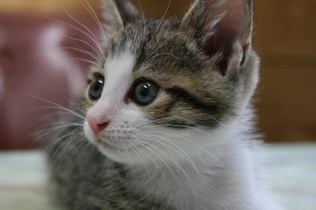 猫の種類人気ランキング!その特徴と値段!人気なのはどの猫?